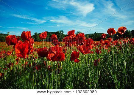 Field Of Red Poppy Seed Flower On Blue Sky