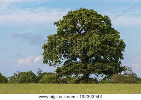 Single large tree on the blue sky in the background and green grain field in foreground