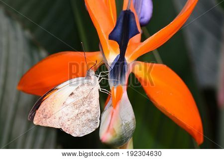 A Great orange tip butterfly lands on a bird of paradise bloom.