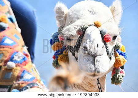 Camel. Animal decorated with colorful multicolored pompons on blue background