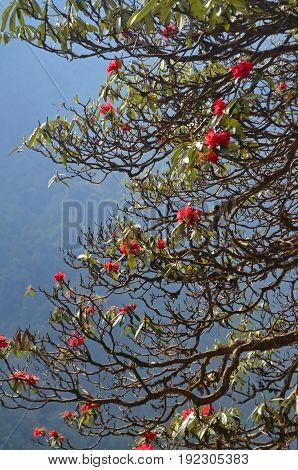 Blossom of rhododendron trees on mountain background. Beautiful bright red rhododendron flowers in blooming. Nepal, Annapurna national park.