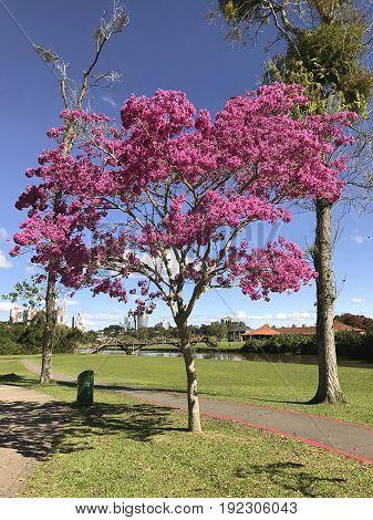 flowering trees in park Barigui - Curitiba Brazil