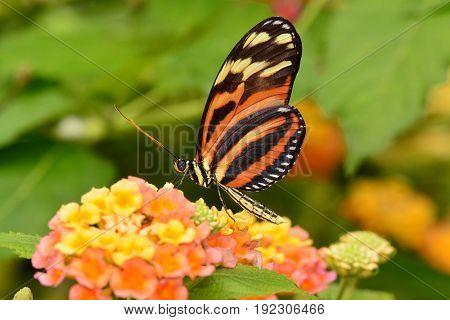 An Isabella Tiger long wing butterfly snacks on nectar from a flower in the gardens.
