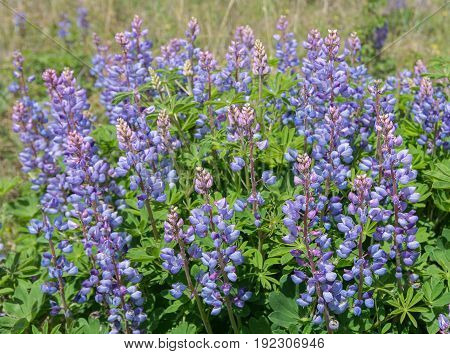 Blooming Wild Lupine wildflowers in a rare oak savanna located at Kitty Todd State Nature Preserve in the Oak Openings region of Northwest Ohio.