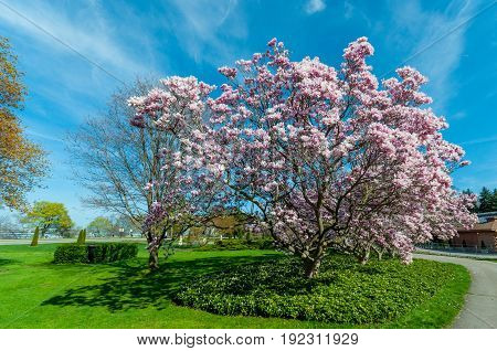 Magnolia Trees In May, Niagara Falls