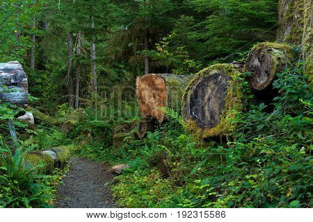 A cluster of ancient fallen trees line up along a trail through the Quinault area of Olympic National Forest