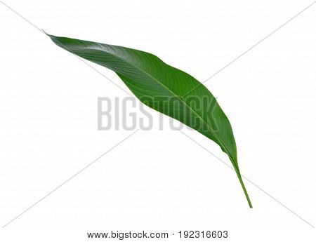 isolated bird of paradise leaf on white background