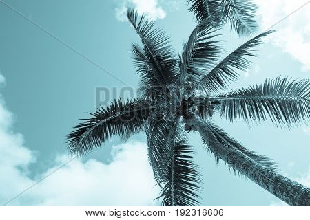 Retro blue tones faded effect coconuts hang above from palm trees and fronds sway in breeze above in tropical scene below sky with white clouds..