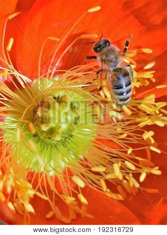 Bee Collecting Pollen from an Orange Flower.
