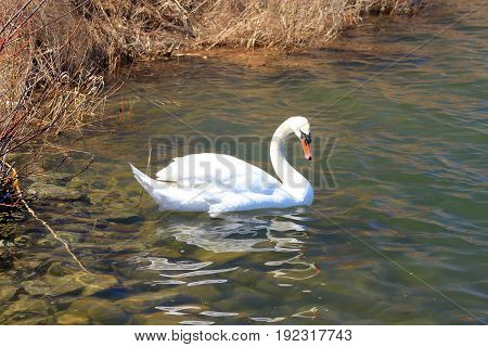 White swan swimming on the water surface