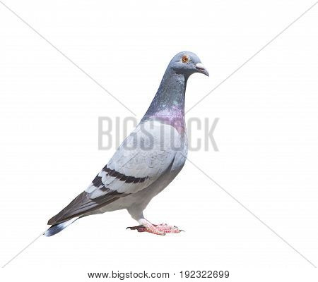 close up full body of speed racing pigeon bird isolated white background