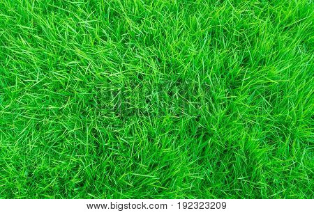 Green grass in the yard Looks and feels comfortable