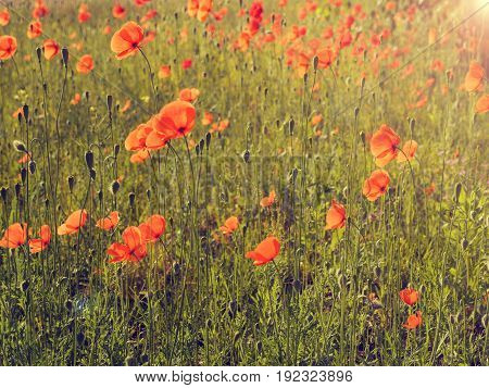Field of poppies with beautiful morning sun using as natural background
