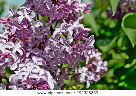 The spring flowering of the lilac is remembered not only by the aroma, but also by the unique color of flowering bunches.