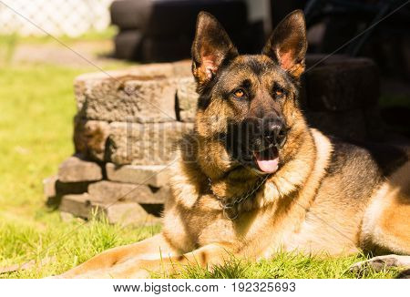 Man's best friend the purebred German Shepherd laying in the backyard