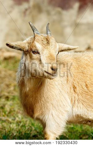 Goat Looking The Other Way.