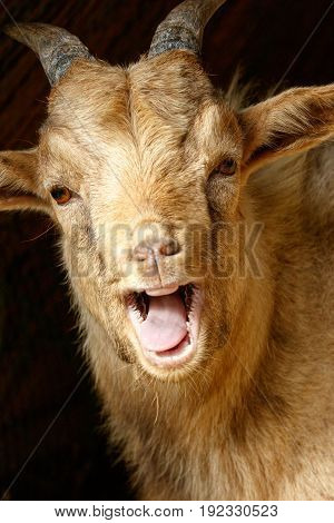 Goat standing and laughing at you in Addo