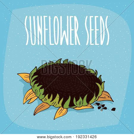 Isolated Helianthus Plant Or Sunflower With Seeds