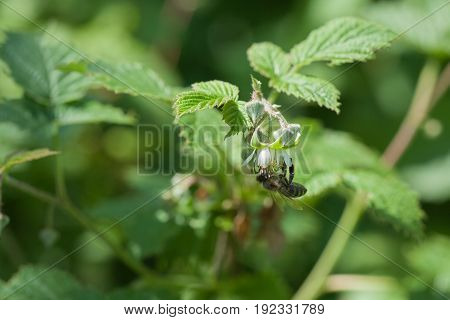 Bee gathering pollen a raspberry flowers.Collection of honey and pollination of plants