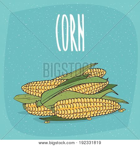 Isolated Ripe Whole Corn Ears Or Cobs With Leaves