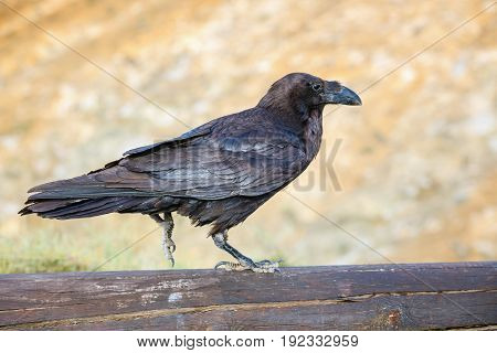 Common Raven sitting on a wooden beam close up