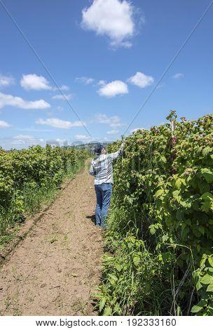 Raspberry picking  Oregon raspberry farms and field.