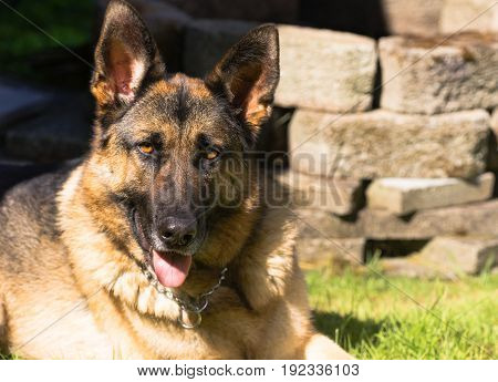 Purebred German Shepherd Dog Canine Pet Laying Down