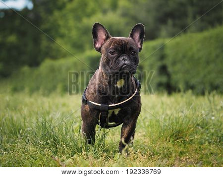 Dog on green grass lawn. Portrait of a French bulldog