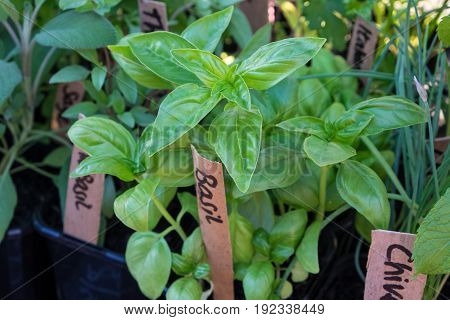 Fresh potted growing herbs at a farmers market: basil chives sage thyme. Photographed in New Zealand NZ.