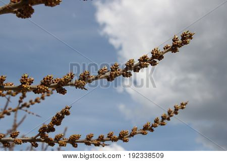 Small brown buds on a tree in spring