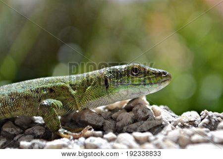 Green lizard walking on the wall, macro and closeup photography