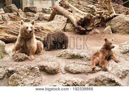 Brown Bears At The Zoo At Goldau