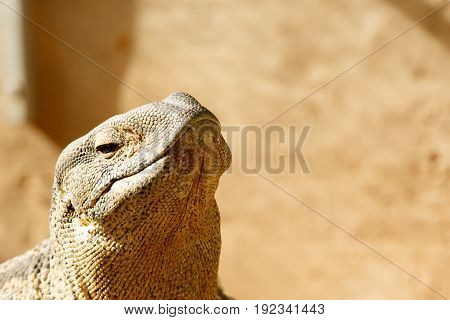 Lizard With His Head In The Air