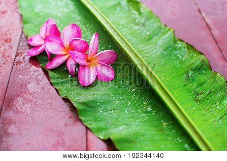 Group Pink Frangipani On Green Palm Leaf