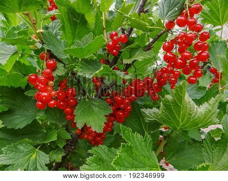 Bush Of Red Currant Berries In A Garden.