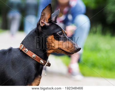 Portrait of a dog. Breed Miniature Pinscher