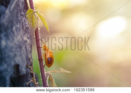 Ladybug on vine trunk and sunlight in background. Beautiful nature.