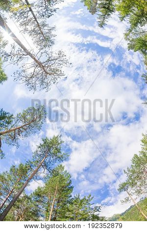 Tops of coniferous trees view up into the sky.