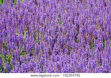 Mass of purple Salvia in large group