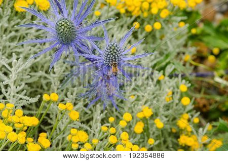 Sea holly with bee in dry garden