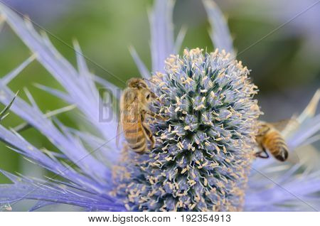 Sea Holly with bees in close up