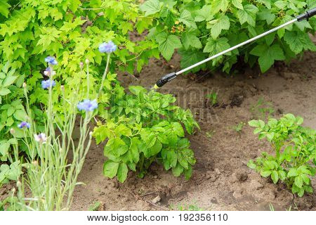 Protecting Potatoes Plants From Fungal Disease Or Vermin With Pressure Sprayer