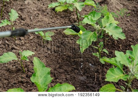 Protecting Eggplant Plants From Fungal Disease Or Vermin With Pressure Sprayer