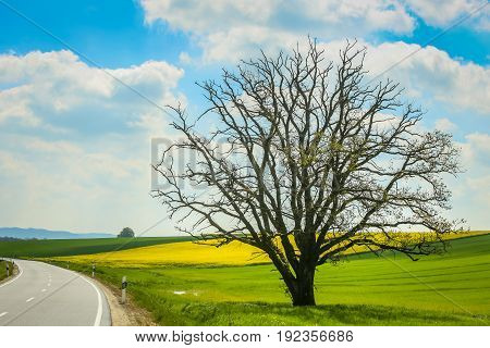 A road passing next to an isolated tree and cultivated rapeseed fields in spring in Bavaria Germany.