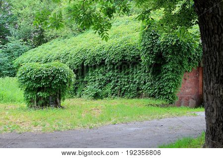 the old house entwined with ivy in a city Park