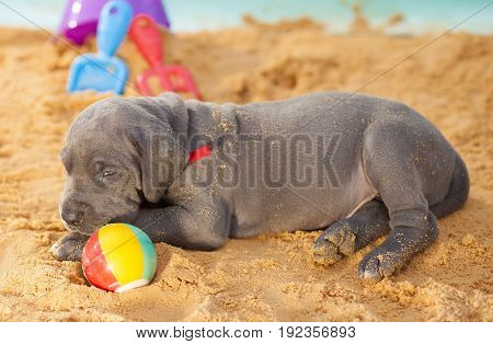 Great Dane puppy that is purebred keeping an eye on its ball