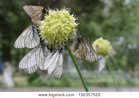Butterflies On A Globular Flower. Photo