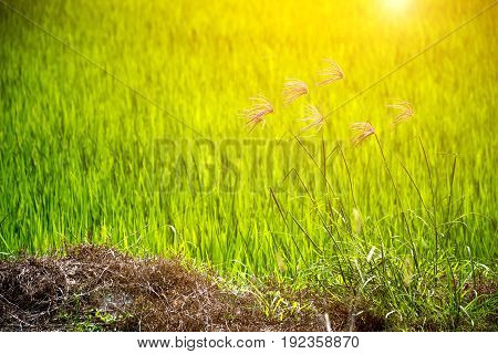 Flower Of Grass And Green Rice Field