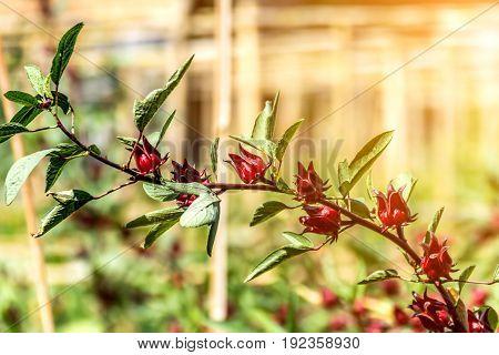 Roselle (plant) Or Hibiscus Sabdariffa