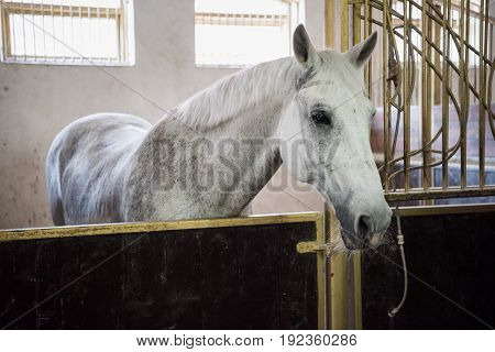 Beautiful white purebred horse standing in stable and looking at camera
